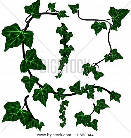 Green ivy vector elements