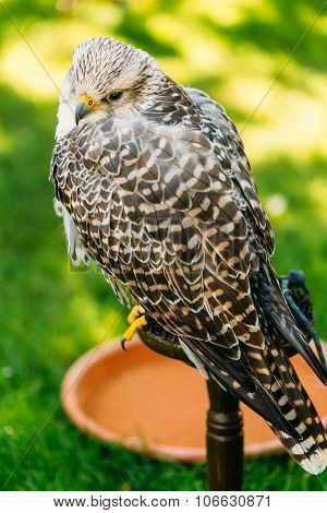 Hybrid Gyrfalcon and Saker falcon
