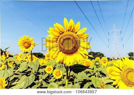 Bright Yellow Sunflowers On Blurry Sunflowers Field Background