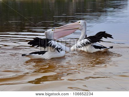 Pelicans: Bill/Throat Pouch Competition at the Moore River, Western Australia