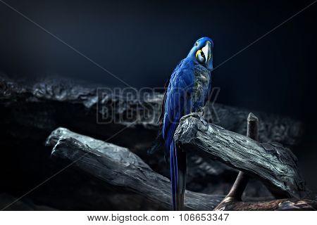 Hyacinth Macaw parrot portrait