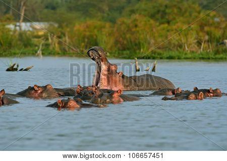 Hippopotamus Lake Naivasha
