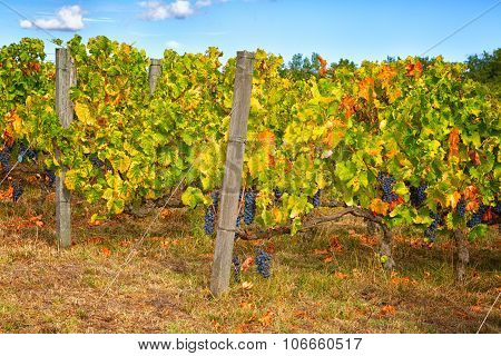 Vineyard With The Ripened Grapes Clusters In Sunny Autumn Day, Umbria, Italy