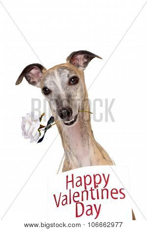 Whippet romantic dog with rose