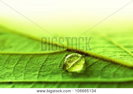 Water Drop On A Fresh Green Leaf