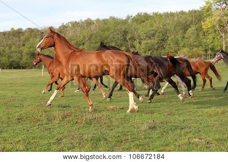 Young  Mares And Foals Running  Across The Pasture