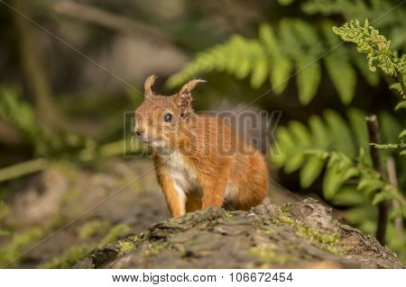 Red squirrel Sciurus vulgaris on a tree trunk looking interested