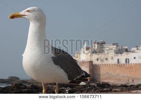 The gull of Essaouira