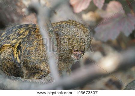 Close Up Of Pygmy Marmoset Or Cebuella Pygmaea The World's Smallest Monkey
