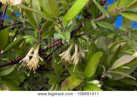 Flowering Honeysuckles