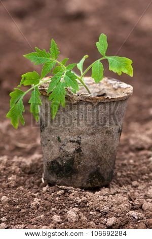 Seedling Of Tomatoes  On The Ground