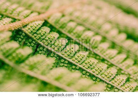 Close Up Of Fern Seeds