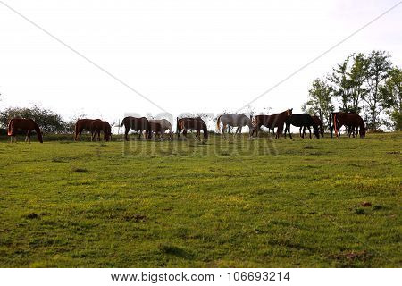 Herd Of Horses Eating Fresh Green Grass At Sunset