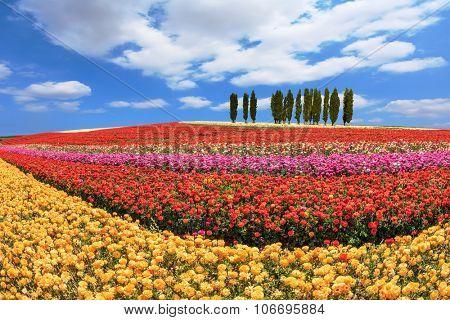 Cypress alley bordered by lovely flower field. Huge fields of garden buttercups /ranunculus/  ripened for harvesting