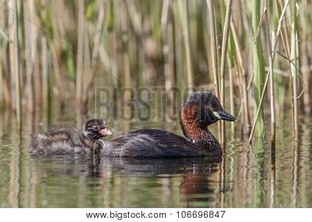 Little Grebe with young