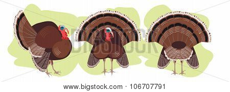 set Turkey birds in different positions, poultry agriculture, chicken farm.