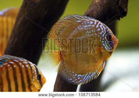 Discus fish Symphysodon
