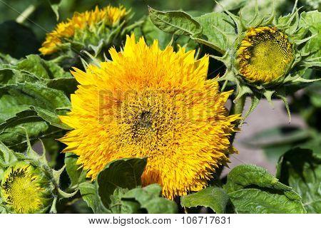 Decorative sunflowers  .  street