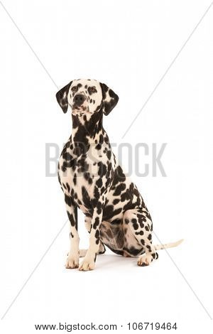 Pure breed Dalmatian dog sitting in studio isolated over white background