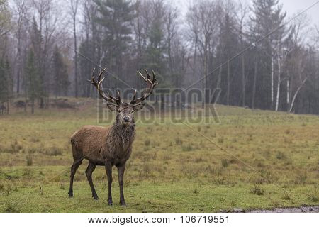 A large wapiti in the Canadian woods