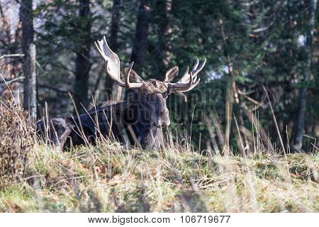 A resting bull moose