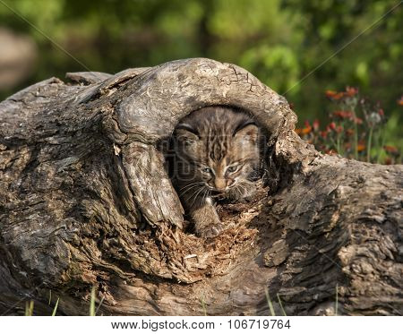 Bobcat Kitten in Log
