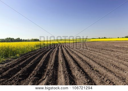 Agriculture.  rapeseed field