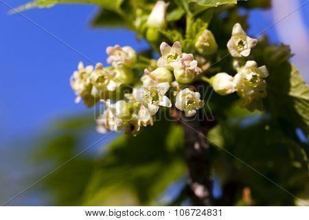 flowering of black currant