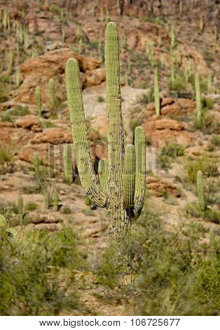 Saguaro Cactus With A Disease