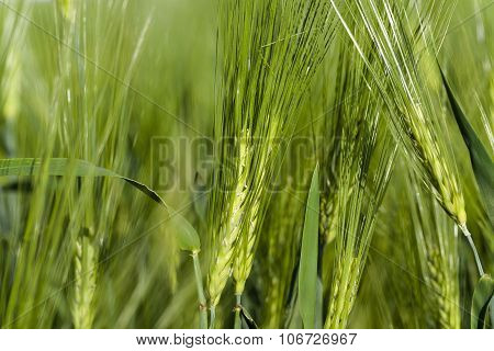 immature cereals . wheat