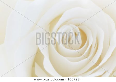 White Rose Background