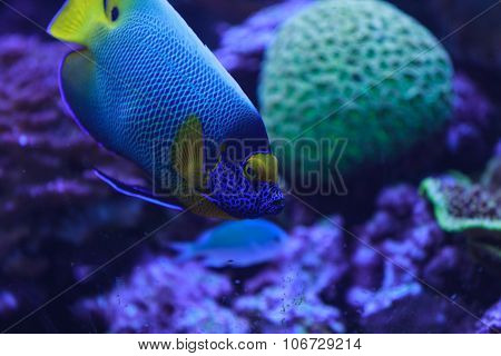 Bluefaced angelfish, Pomacanthus xanthometopon