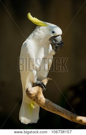 Ð¡lose up of yellow crested cockatoo with blurred foliage background