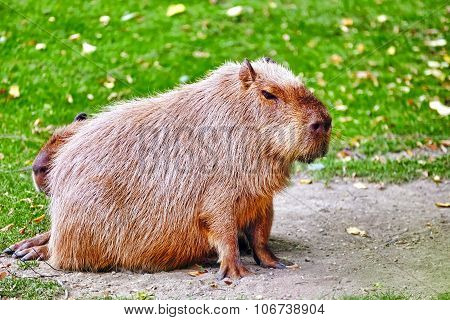 Cute Pig Water( Capybara) In Their Natural Habitat In The Outside.