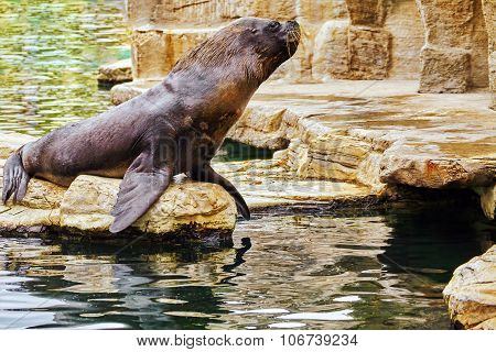 Cute Playful California Sea Lions (zalophus Californianus) On Rock Background.