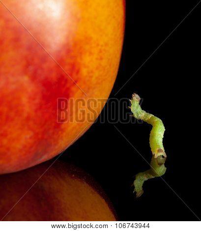 Inchworm And Peach