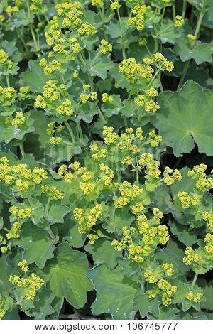 Ornamental plant cuff (Alchemilla)