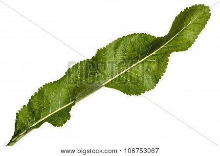 Fresh Horseradish Leaf (armoracia P. Gaertn), Isolated On White Background