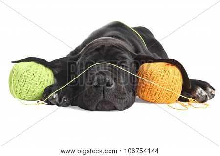 Weary Puppy Great Dane Black Sleeps About Colored Threads Balls.