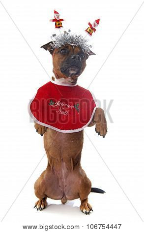 Dressed Staffordshire Bull Terrier