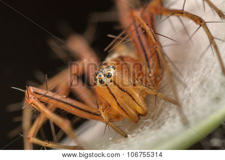 A Red Lynx Spider Macro Shoot