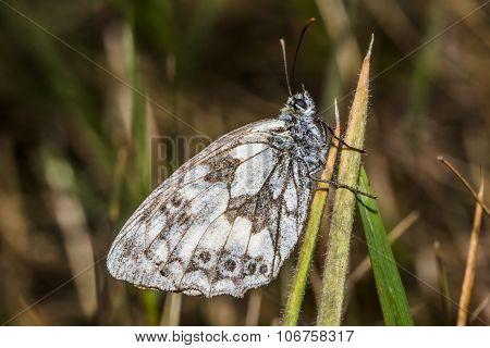 Western warbled white (melanargia Galathea)