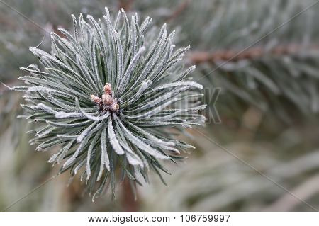 Hoarfrost On The Coniferous Twig