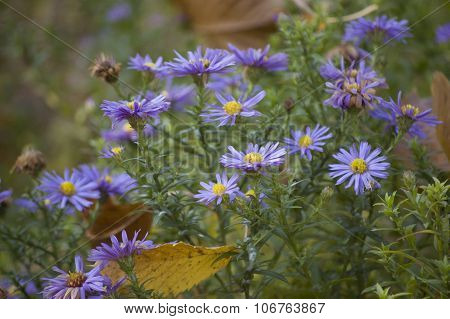 Perennial Asters blooming in the garden
