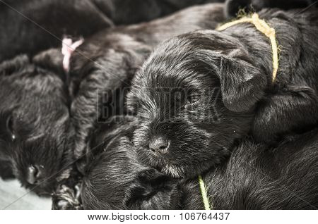Small Group Puppi Breed Miniature Schnauzer