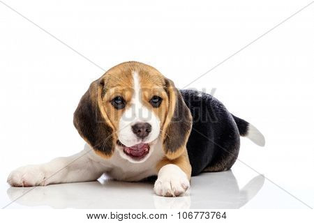 Little beagle puppy isolated on white