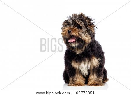 Yorkshire Terrier isolated on white