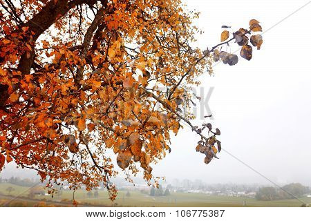Fruit Tree With Red Leaves In The Fogy Autumn Season