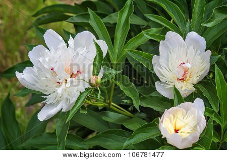 Blossoming White Peony Among Green Leaves
