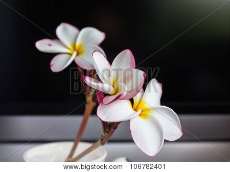 Isolate fragrant lovely flower plumeria or frangipani